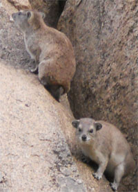 Rock Hyraxes About to Dive for Cover